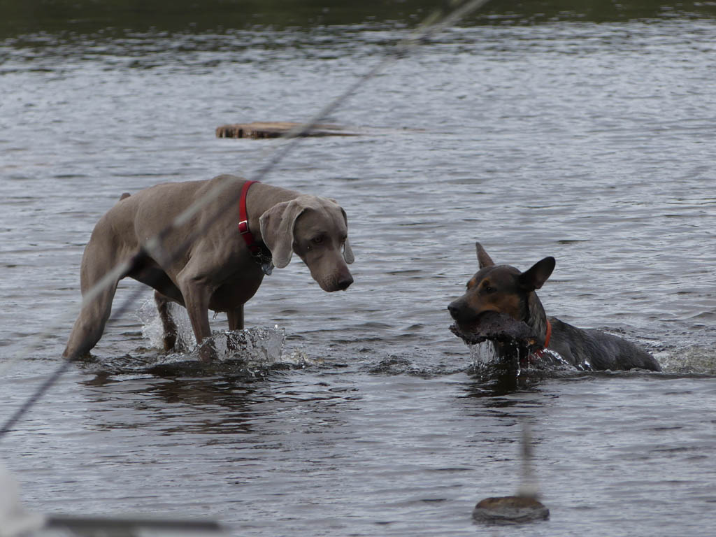 Dogs playing in the lake